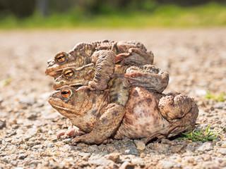 Erdkröten auf dem Weg zum Laichen