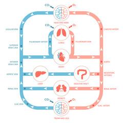 heart anatomy, circulatory system, human blood artery,
