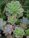 パステルカラーの多肉植物