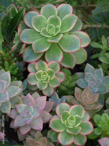 Fotobehang Cactus パステルカラーの多肉植物