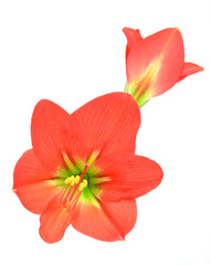 red amaryllis Flower on white background