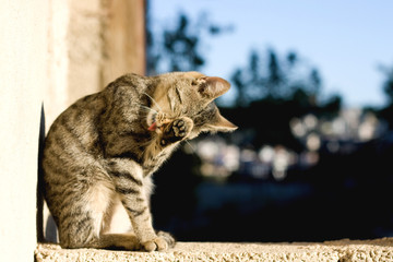 Brown tabby cat grooming itself outdoor. Selective focus.