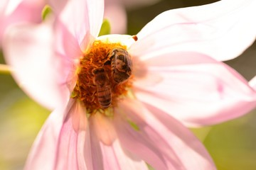 Bee and beetle on a pink flower