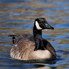 Canada Goose Swimming Toward Camera