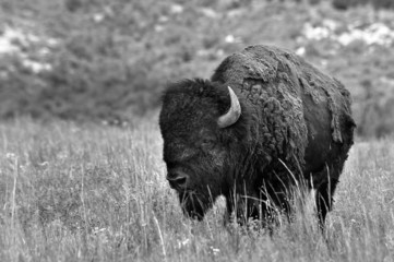 American Buffalo in black and white.