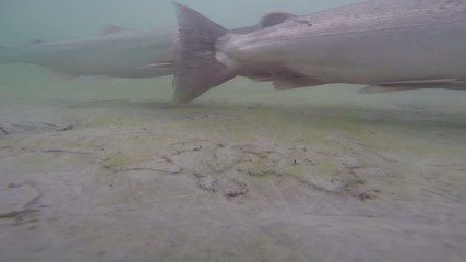 Salmon in Alaska - Underwater