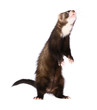 Sable Ferret Standing Up