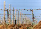 Reberziehung in der Weinplantage