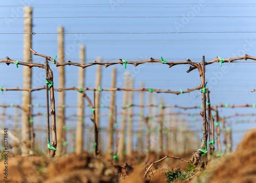 Spoed canvasdoek 2cm dik Wijngaard Reberziehung in der Weinplantage