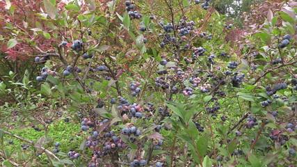 ecologically grown blueberries in garden
