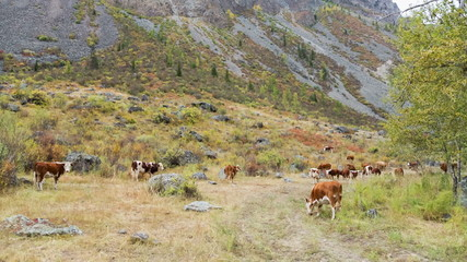 Herd of cows grazing in high mountains