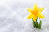 Fototapety Crocus flower growing form snow. Spring start