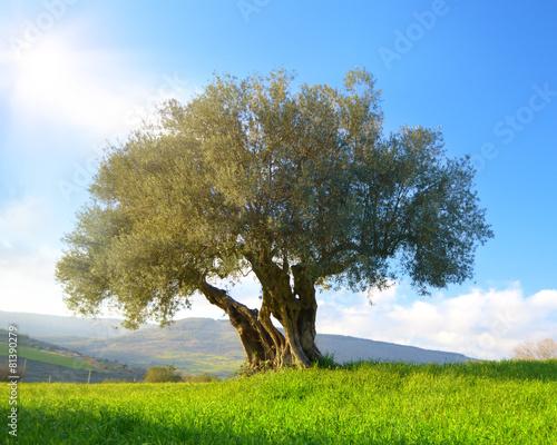 Staande foto Olijfboom Albero di ulivo