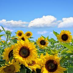 Sommer: Sonnenblumen mit blauem Himmel und Wolken :)