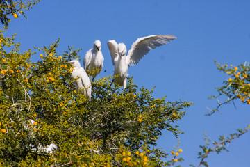 Great White Egret couple, Egretta alba on nesting
