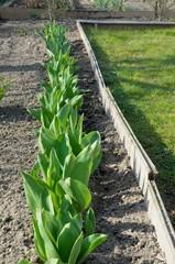 Pierwsze tulipany
