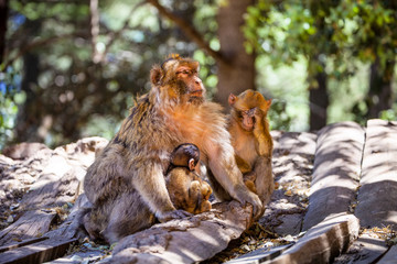 female Barbary Ape, Macaca sylvanus, with two babys,Morocco