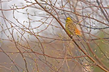 Yellowhammer (Emberiza citrinella) sitting on the birch