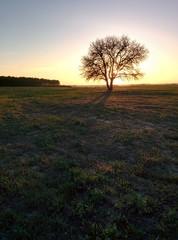 Tree in spring sunset light