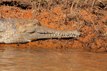 Freshwater crocodile, Kakadu National Park