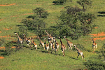 Aerial view of a herd of giraffes