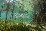 Mangrove ecosystem underwater with school of fish