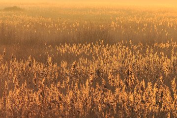 Reed beds, at sunset