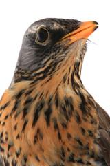 portrait thrush