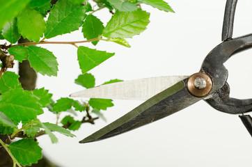 Bonsai: Blattschnitt (pruning)