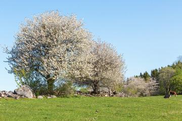 Flowering cherry tree at spring