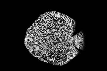 Discus fish red snake skin illustration