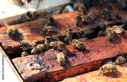 Foto op Canvas Bee Bees