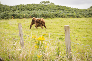 Vacas escocesas de pelo largo