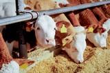 Bullenmast, rotbunte Jungbullen fressen Maissilage