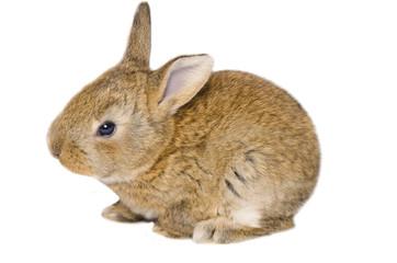 Ritratto in studio di un piccolo coniglio