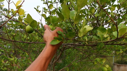 Close up of hand picking lemons from tree
