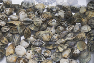 clams to clean in water