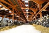Moderner Rindviehstall, Holstein-Friesian Rinder fressen Silage