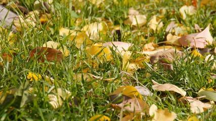 fallen leaves in the grass