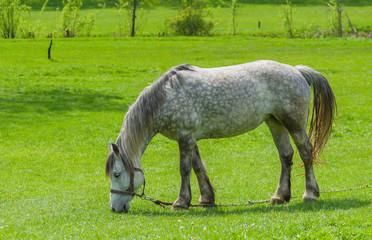 Dappled mare grazing on spring pasture