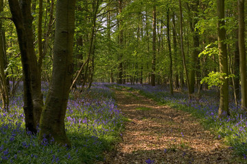 Bluebell road in the woodland