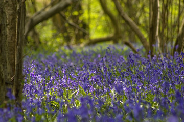 Bluebells close up in the forest
