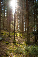 Sunlight in the coniferous forest