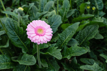 Pink Gerbera flower with a yellow heart