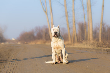 Dogo argentino portrait in nature