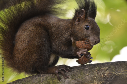 Tuinposter Eekhoorn Squirrel eating nuts, on a tree branch