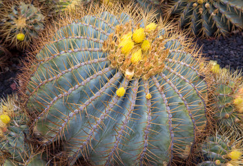 Blooming Yellow Barrel Cactus