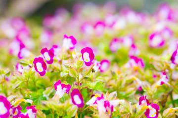 Begonia flower blur background