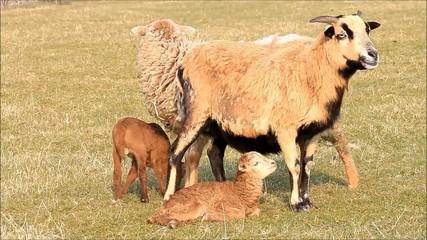 Schafe im Frühling, Lämmer, Familie