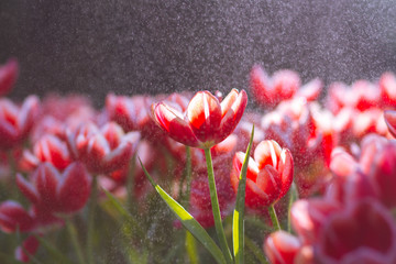 Red Tulip flowers foggy sprayed in the morning.
